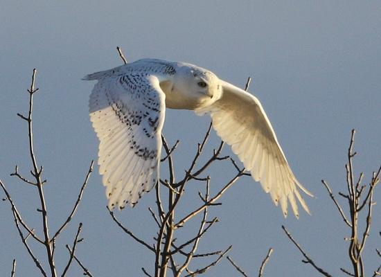 Snowy Owl Photo by Diane Irwin